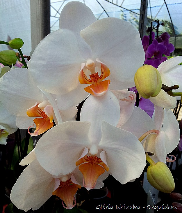 Glória Ishizaka - orquideas 3