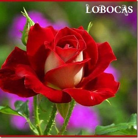 Rosa-LoBocAs-5000