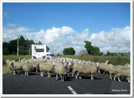 Utter confusion with this mob of sheep.