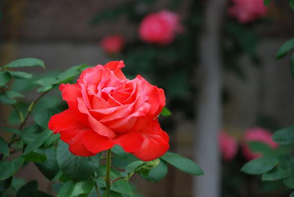 Qingdao - Rose