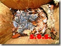 cassetta nido  - picchio muratore