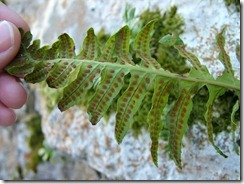 Plantae Pterydophyta