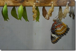 Butterfly_and_Chrysalises