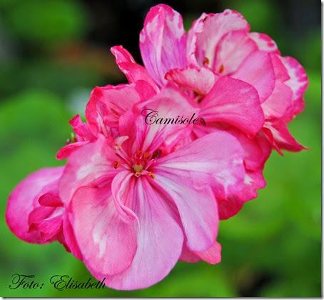 Pelargonium 16 juni -14 059