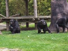 2009.05.02-011 chimpanzés