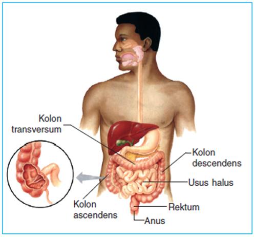 usus besar dan anus