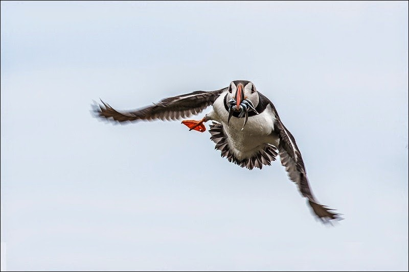 Farne Island Puffin with eels in flight