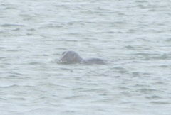 seal 3 swimming Chatham fish pier 6.17.12