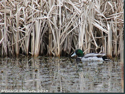 30-mallard-and-reeds