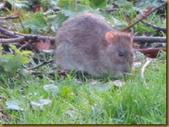 IMG_0121 Fat Rat