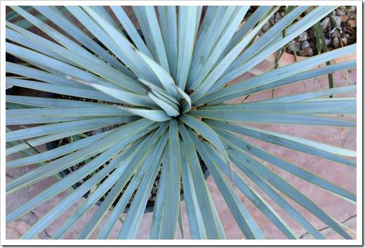 120226_Yucca-rostrata_07