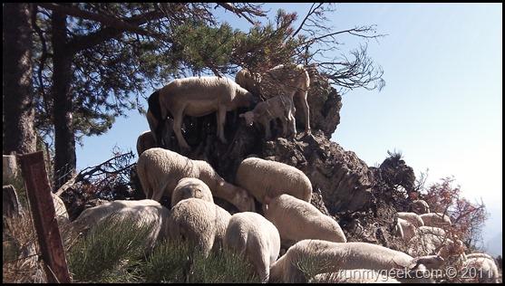 Moutons au Mont Aigoual