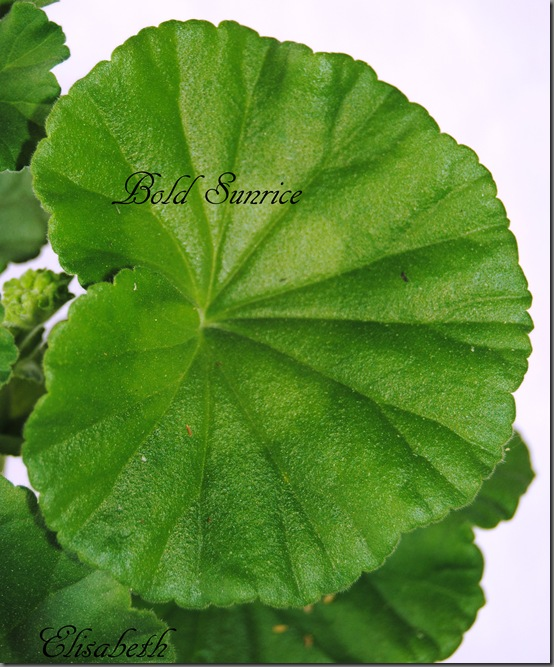 Pelargonium juni-11 235