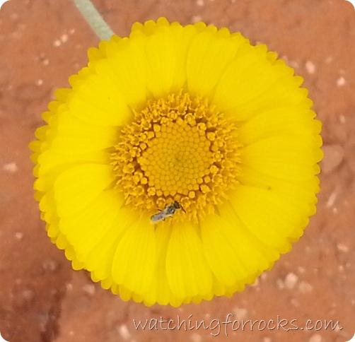 DesertMarigoldCropped