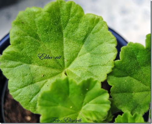 Pelargonium 16 juni -14 024