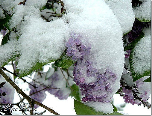 Snowy_Lilacs_2005