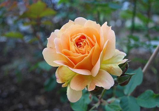 Irish Gold Rose