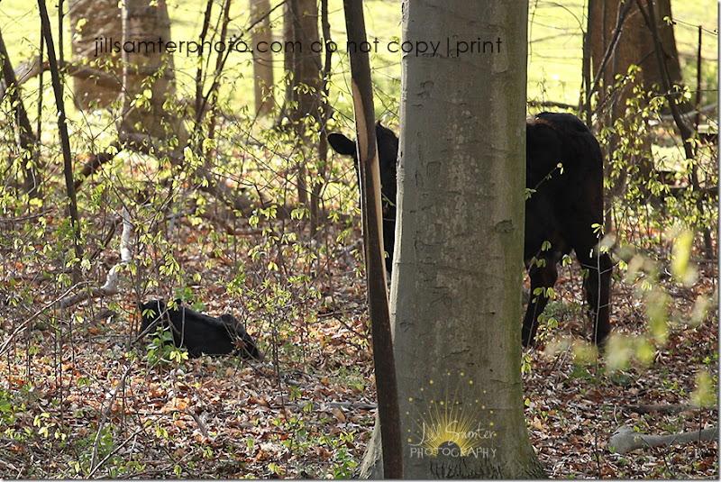 cows-6684