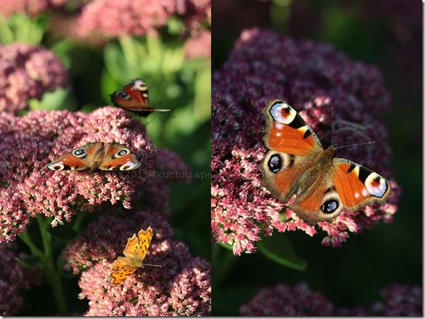 Motyle na rozchodniku