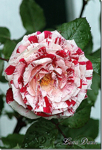 Rose_Scentimental_Blooms4