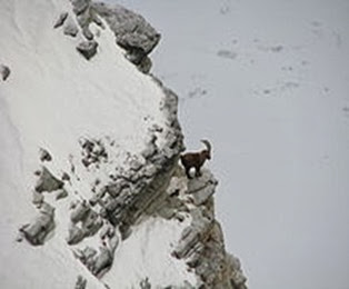 Amazing Pictures of Animals, Photo, Nature, Incredibel, Funny, Zoo, Alpine ibex, Capra ibex, Mammalia, Alex (20)