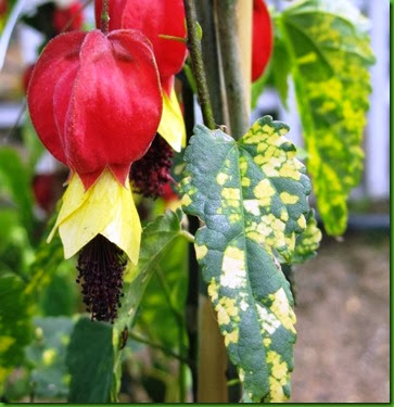 Abutilon megapotamicum variegado