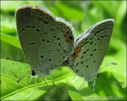 coral hairstreak0628 (11)