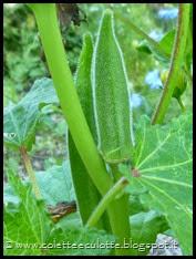 Abelmoschus esculentus (Okra o Gombo) (9)