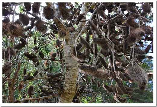 120211_UCSC_Arboretum_Banksia-marginata