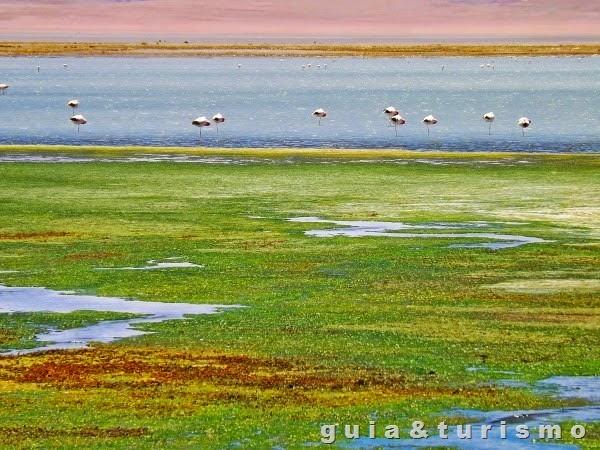 Salar de Tara e Flamingos