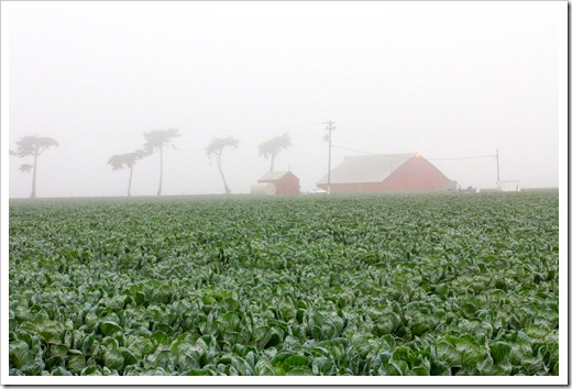 120928_SucculentGardens_Castroville_cabbage-field