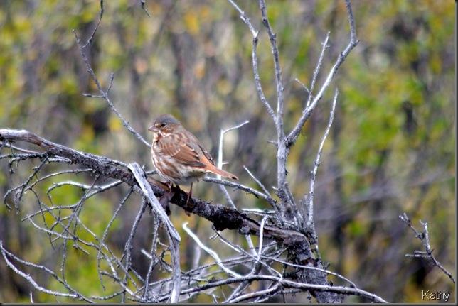 Song Sparrow - Aleutian