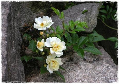 2 Rosa helenae