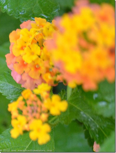 Lantana 2_edited-1