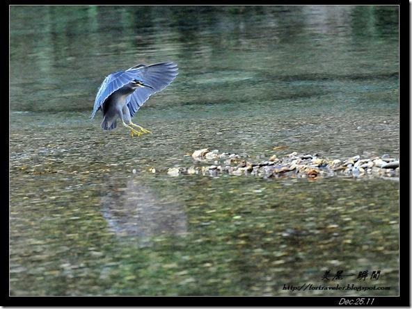 綠簑鷺(2011-12-15三棧)0977