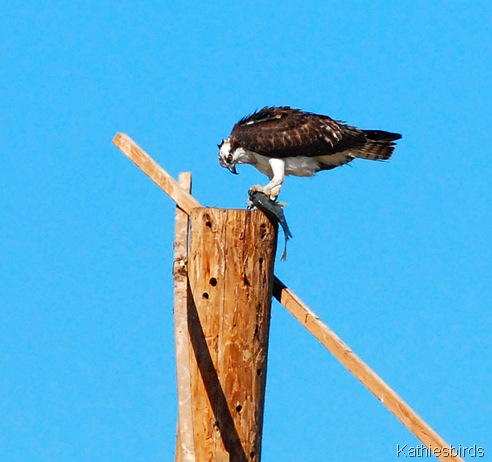 12. osprey-kab