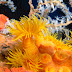 Orange Cup Coral - Photo (c) 104623964081378888743, some rights reserved (CC BY-NC-SA)