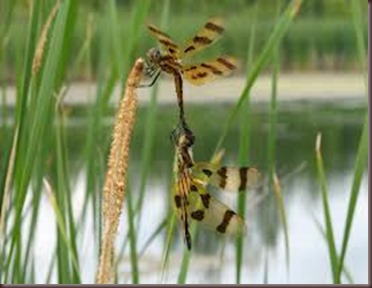 Amazing Pictures of Animals, photo Nature, exotic, funny ,incredibel Zoo, Dragonfly, Insecta, Alex (15)