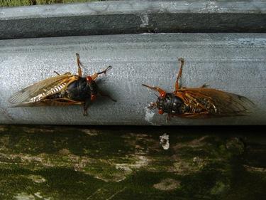 Cicada-8