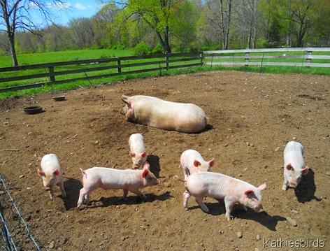 12. running pigs-kab