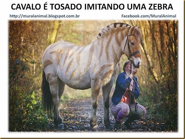 CAVALO É TOSADO IMITANDO UMA ZEBRA