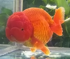 Amazing Pictures of Animals, Photo, Nature, Incredibel, Funny, Zoo, Ranchu, Goldfish, Alex (14)