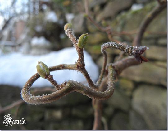 ramo nocciolo contorto -Corylus avellana contorta