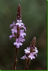 Verbena officinalis1