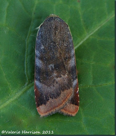 lesser-broad-bordered-yellow-underwing (3)