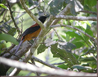 Amazing Pictures of Animals Pitohui Poisonous Bird. Alex (9)
