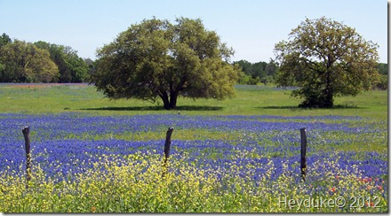 bluebonnets among post oaks