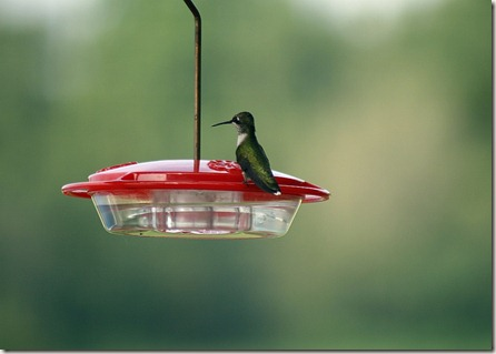 Ruby-throated hummingbird at feeder, bird