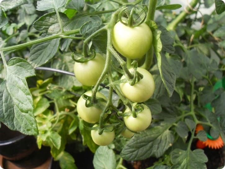 Tomatplanten fra Anja