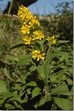 Lysimachia vulgaris2